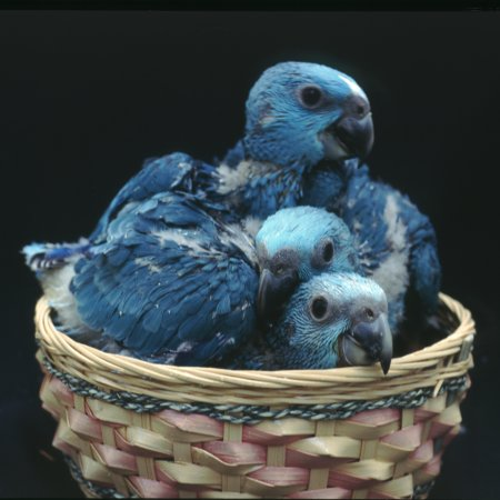 Clutch of three blue mutation yellow-nape Amazon chicks