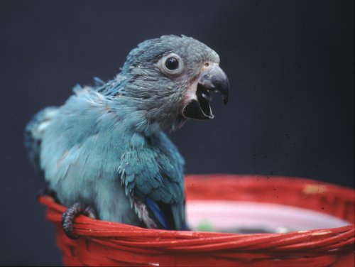 The blue duskies striking appearance is almost that of a miniature Spix's Macaw.